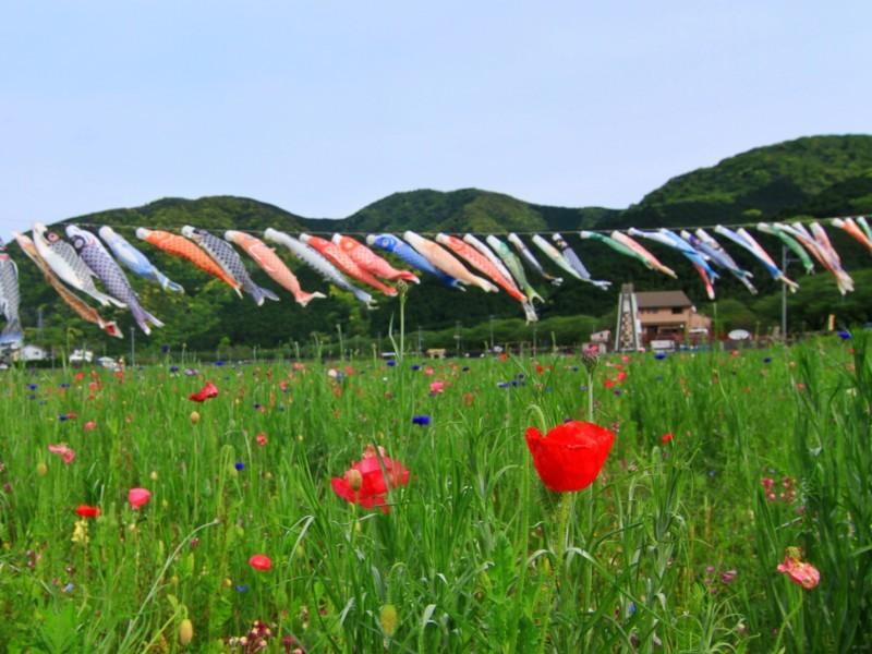 花畑と鯉のぼり